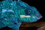 Nosy be chameleon close up