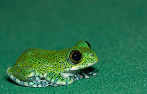 Tiny Peacock frog by AngiWallace
