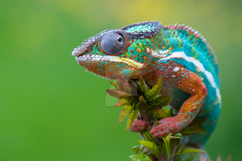 Beautiful chameleon by AngiWallace