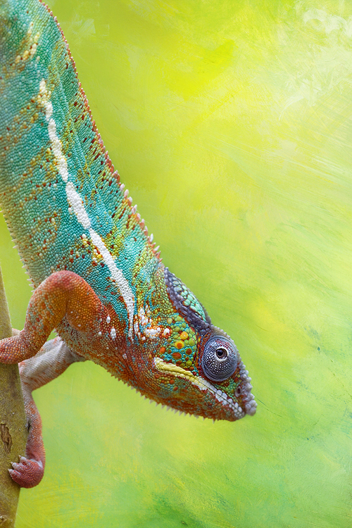 Chameleon art by AngiWallace