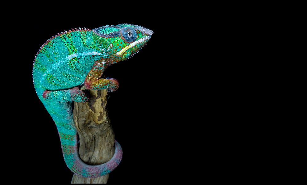 Posing chameleon by AngiWallace