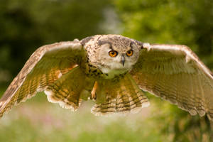 Eagle owls summer flight by AngiWallace