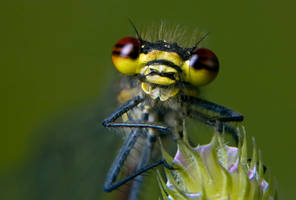 The Red Damselfly by AngiWallace