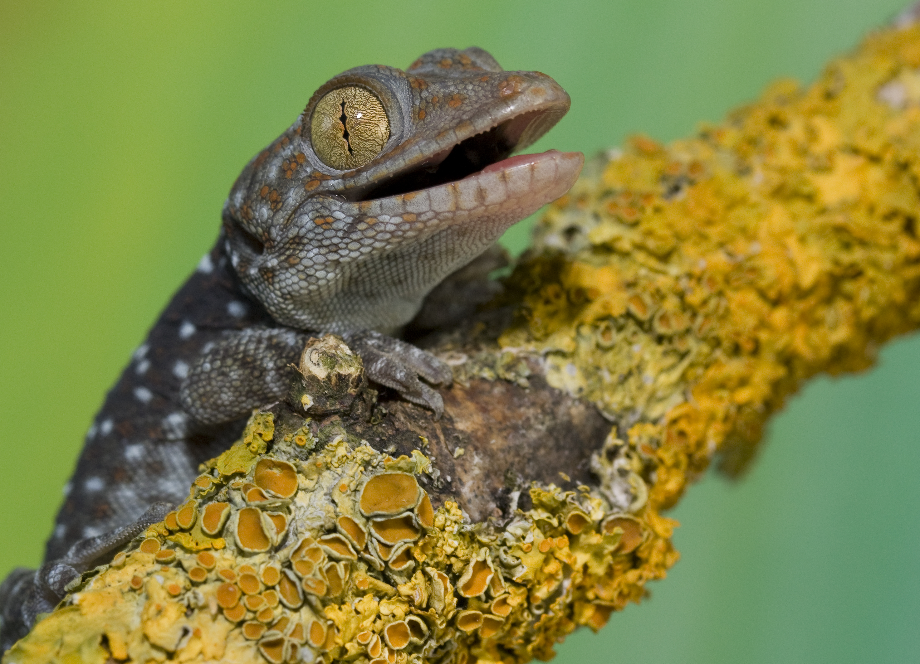 Baby Tokay gecko by AngiWallace