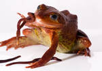 Common frog eating