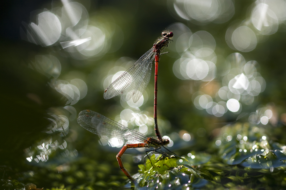 Damselflies and bokeh by AngiWallace
