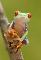 Curious Red eyed tree frog by AngiWallace
