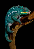 Chameleon drinking by AngiWallace