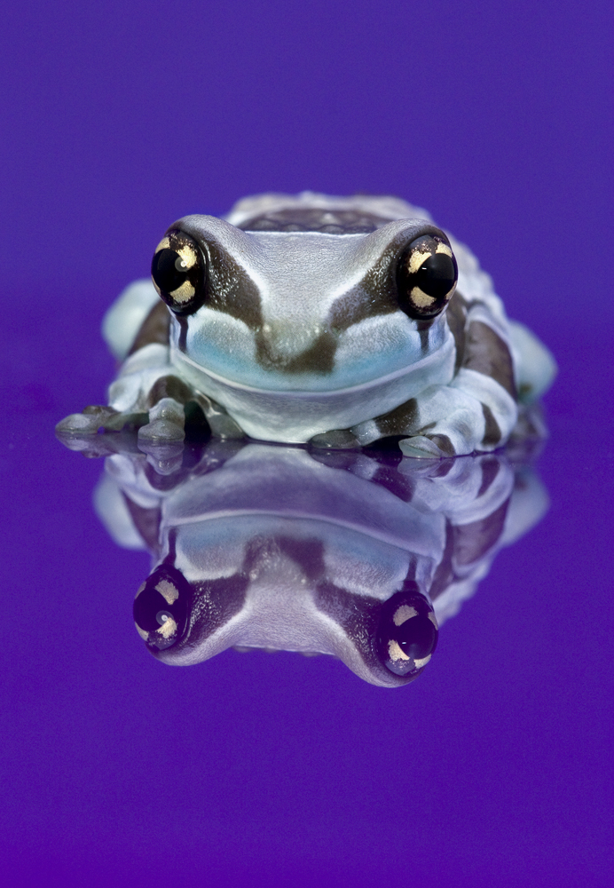 Frogs on purple perspex 1