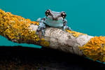 Frog on turquoise perspex
