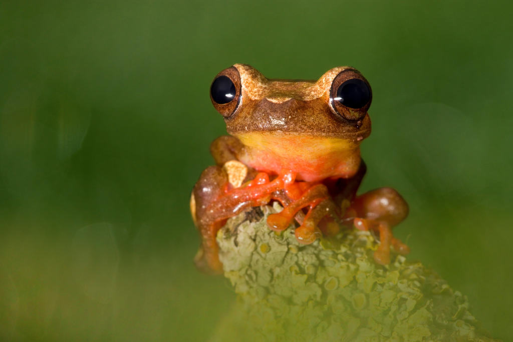 The young Clown frog by AngiWallace