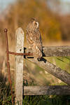 The resting owl