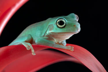 Young Whites tree frog by AngiWallace