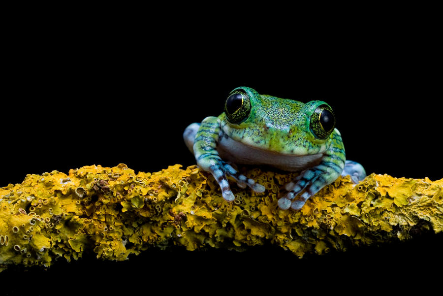 My friend the Peacock frog by AngiWallace