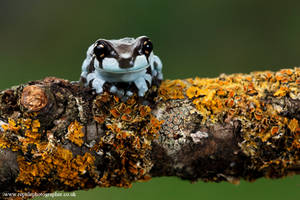 Baby Milk frog on a twig by AngiWallace