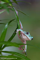 Climbing but posing frog by AngiWallace