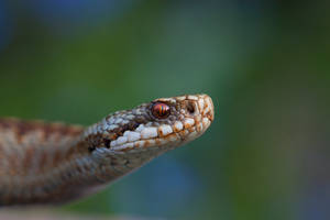 The Adder 3 by AngiWallace