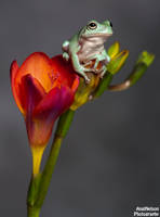 Frog on a Freesia 2 by AngiWallace