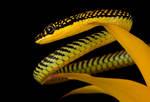Flying Paradise snake macro