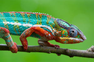 Chameleons beauty by AngiWallace