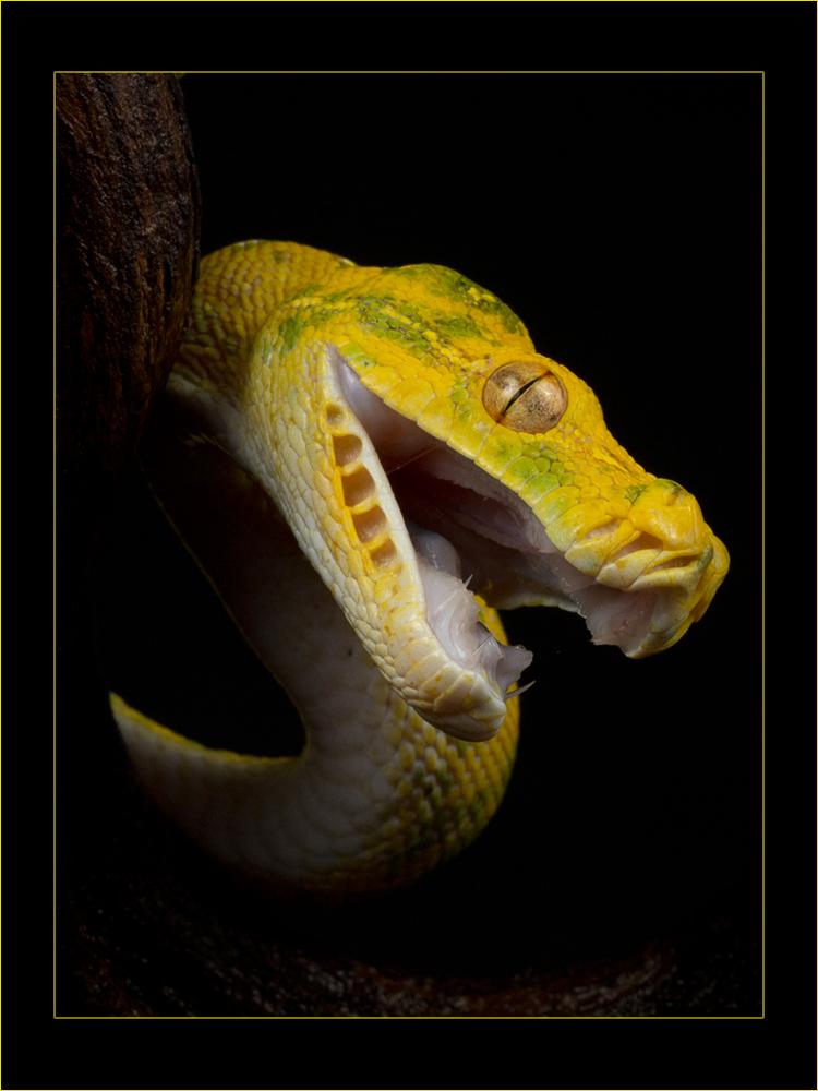 Morelia viridis by AngiWallace