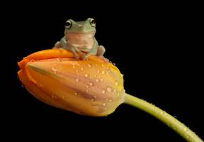 Whites tree frog on tulip by AngiWallace