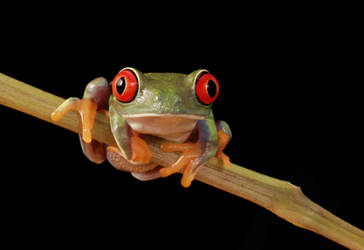 red eyed tree frog by AngiWallace