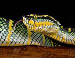 Waglers pit viper
