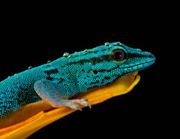 Electric blue gecko by AngiWallace