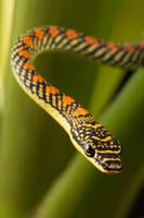 Paradise snake amongst leaves