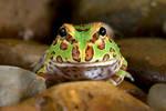 Horned frog  juvenile 1