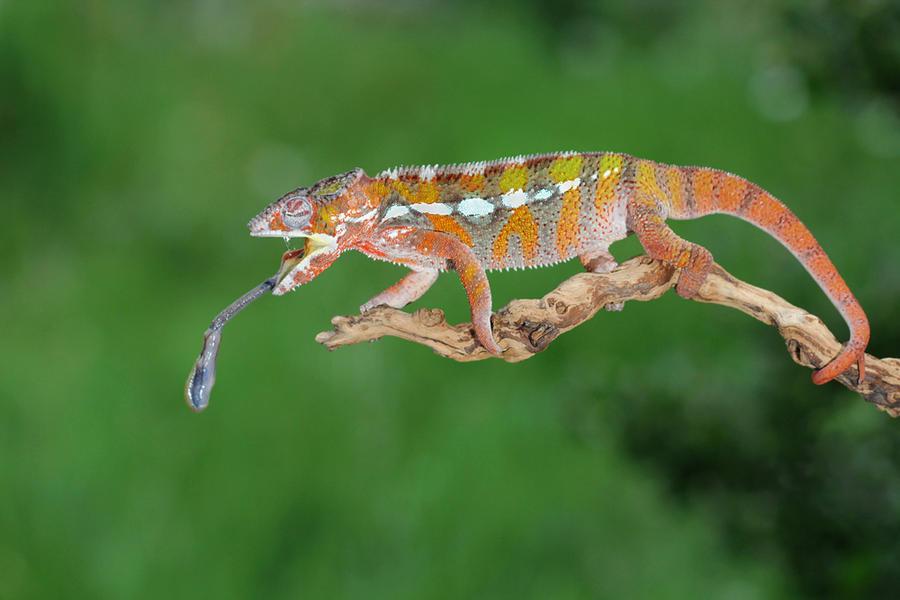 Chameleon feeding by AngiWallace