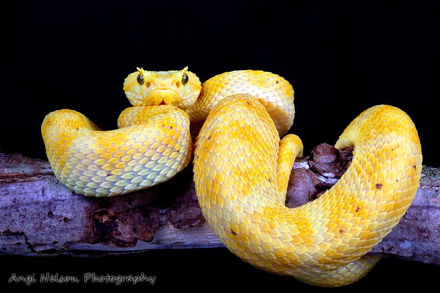 Blue eyelash viper - photo#2