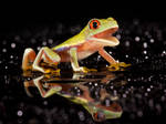 Laughing Red eyed tree frog