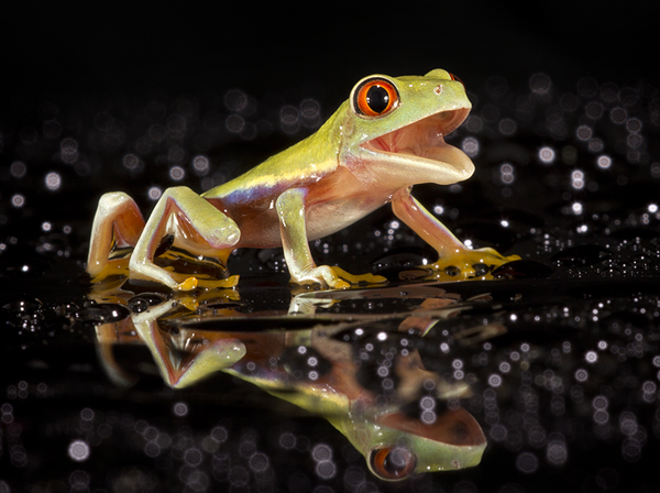 Laughing Red eyed tree frog by AngiWallace