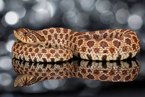 Festive Western hognose snake by AngiWallace