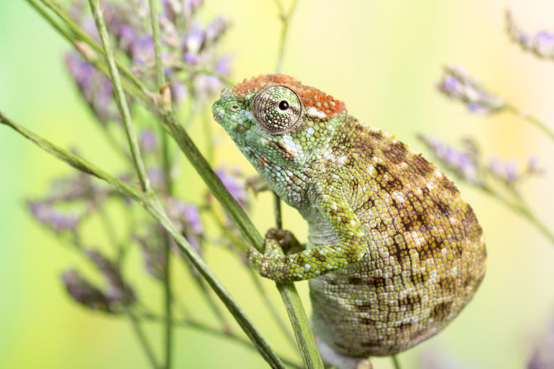 Dwarf fishers chameleon by AngiWallace