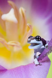 Young Milk frog