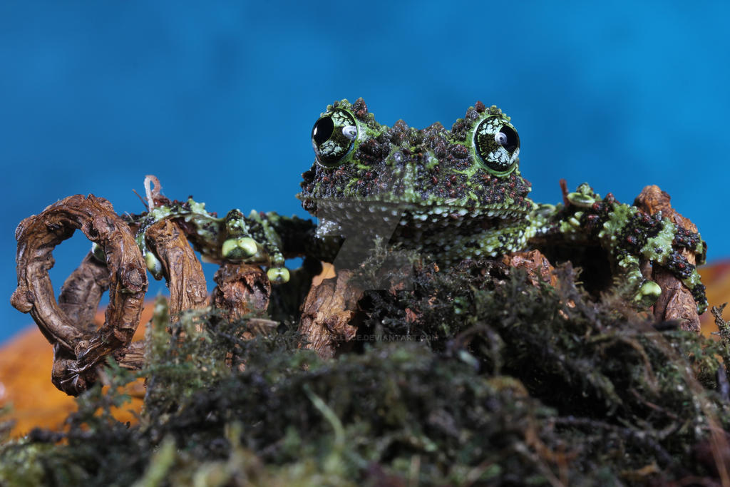 Vietnamese mossy frog by AngiWallace