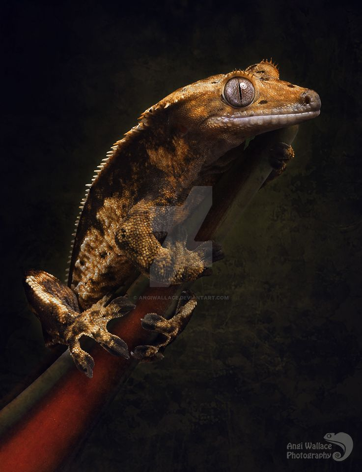 Crested gecko portrait by AngiWallace