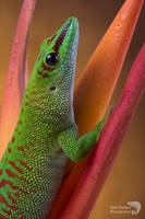 Day gecko close up by AngiWallace