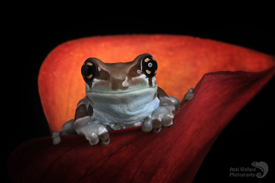 Cute milk frog by AngiWallace