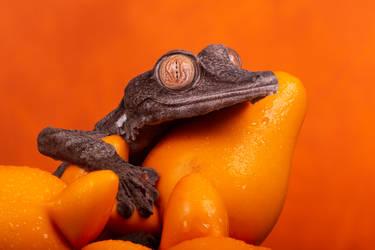 Leaf tailed gecko on orange fruit by AngiWallace