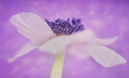 Lilac dreams by AngiWallace