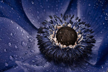 Blue anemone by AngiWallace