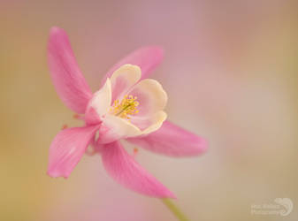 Pink Aquilegia by AngiWallace