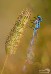 Common blue Damselflydamselfly by AngiWallace