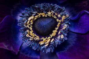 Anemone bordeaux macro
