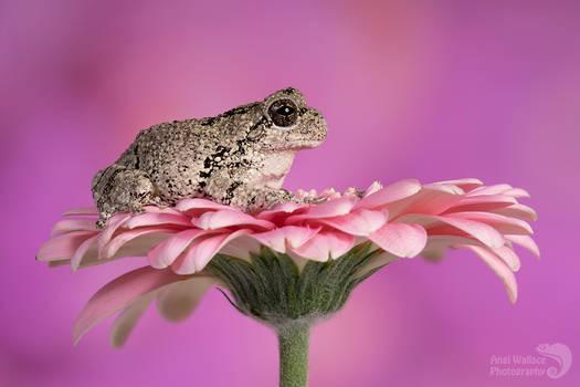 Grays tree frog
