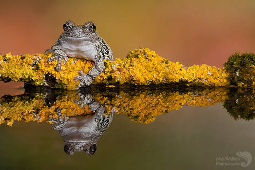 Grays tree frog reflection
